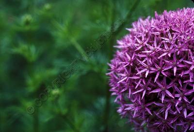 Allium2_150_2