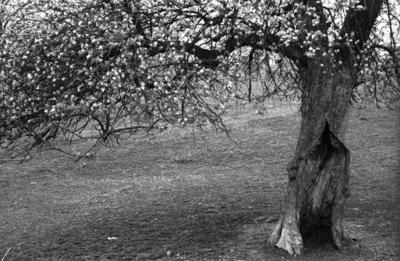 Apple_tree_2_edited_150