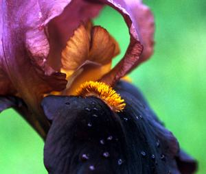 Black_iris_close_72
