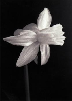 Daffodil_edited_72