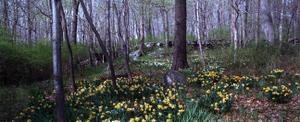 Daffodil_woods_72