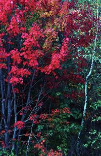 Fall_trees_75_2
