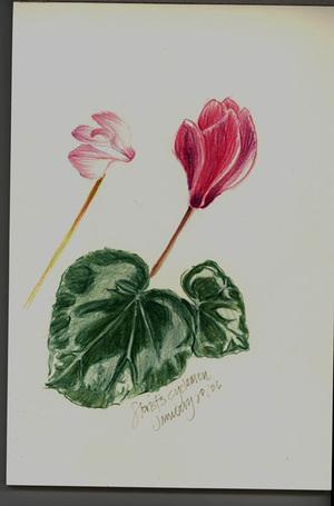 Florists_cyclamen72_1