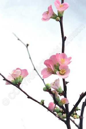 Flowering_quince_edited72_1