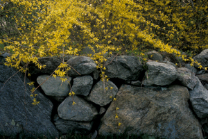 Forsythia_and_stone_wall_1