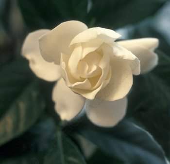 Gardenia_2_edited_cropped_72_watermarked