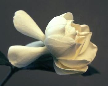 Gardenia_72_watermarked_2