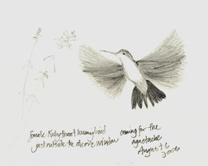 Hummingbird_72