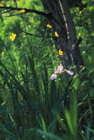 Iris_and_buttercups_edited