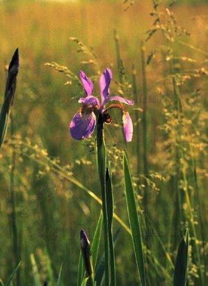 Iris_and_grasses