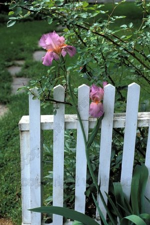 Iris_with_picket_fence_1