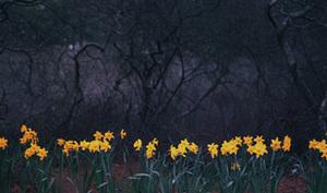 Island_daffodils_72