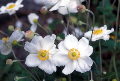 Japanese_anemones