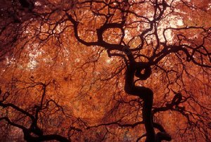 Japanese_maple_underneath_72_watermarked
