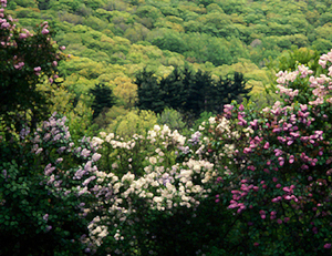 Lilacs_and_spring_mountain_edited_daubs7