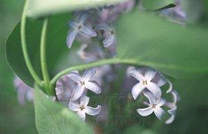 Lilacs_closeup72_1