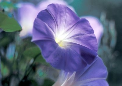 Morning_glory_4edited