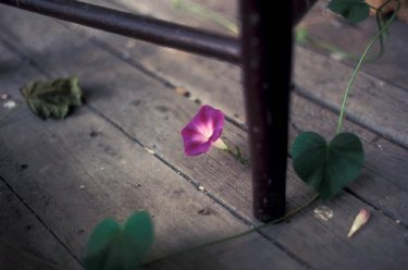 Morning_glory_old_porch_1