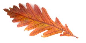 Oak_leaf_72