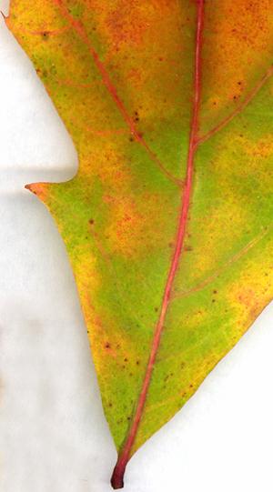 Oak_leaf_close_up_72