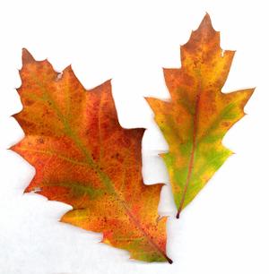 Oak_leaves_72