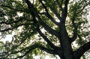 Oak_tree_2_1