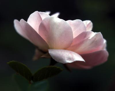 Pale_rose_2_72