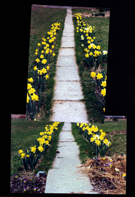 Peters_daffodils_72