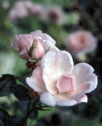 Rose3_edited150