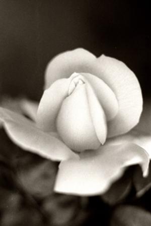 Rose_6_72