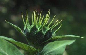Sunflower_bud_1