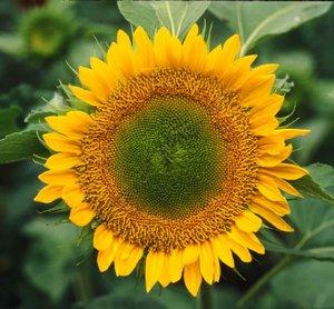 Sunflower_bud_no_more
