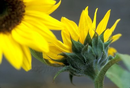 Sunflowersedited_1