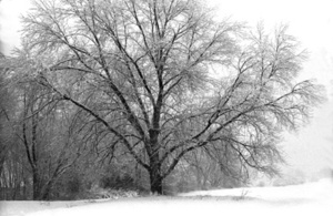 Tree_after_snowstorm_72_2