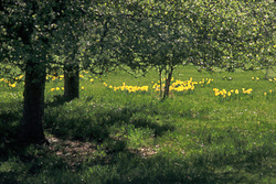 Willowood_daffodils_pd72